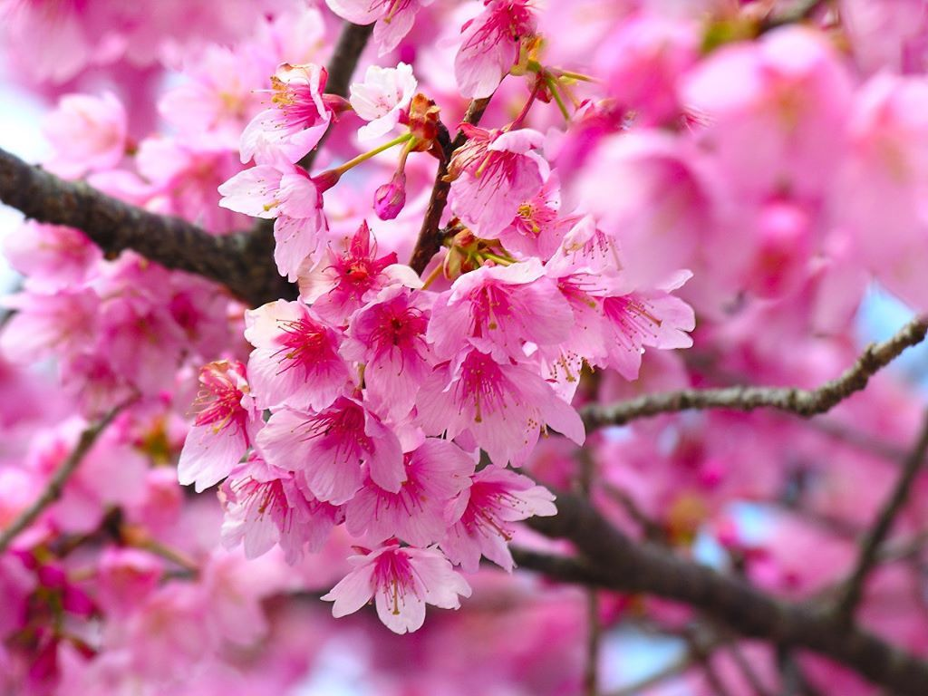 Clusters Of Cherry Blossoms Flowers Plants Gardens Pinterest