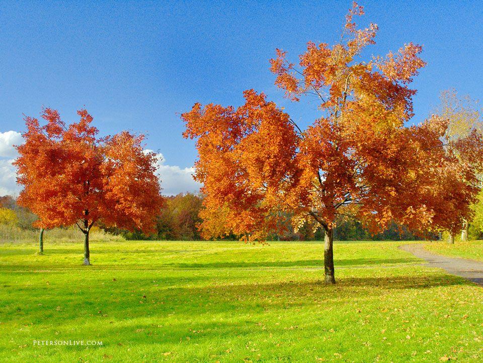 Two trees, fall foliage