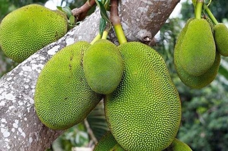 Tutorial And Tips How To Grow Jackfruit Tree Jackfruit Growing Jackfruit Tree Seed Germination