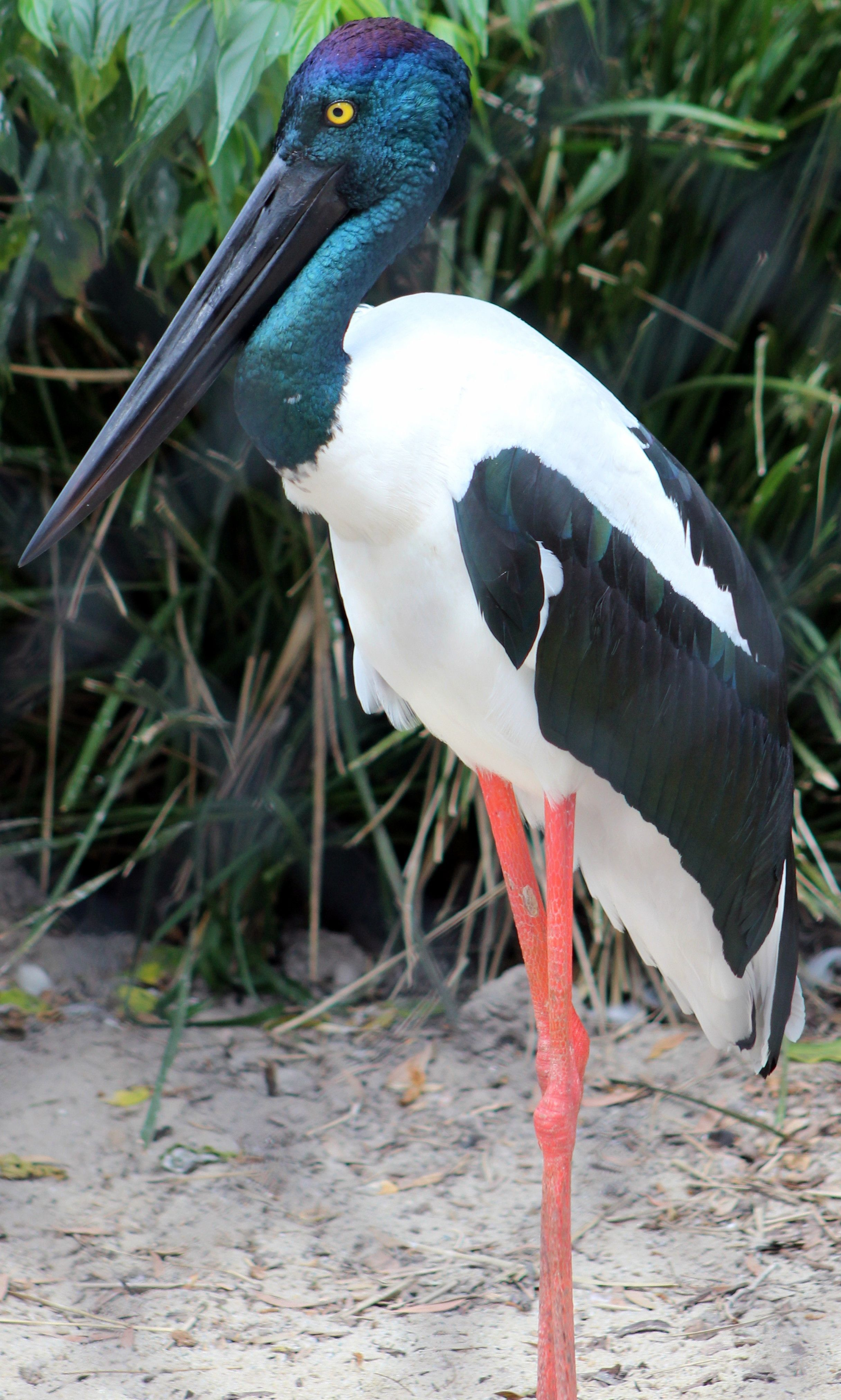 Waterfowl  Its Called A Black Necked Stork, Though The Neck