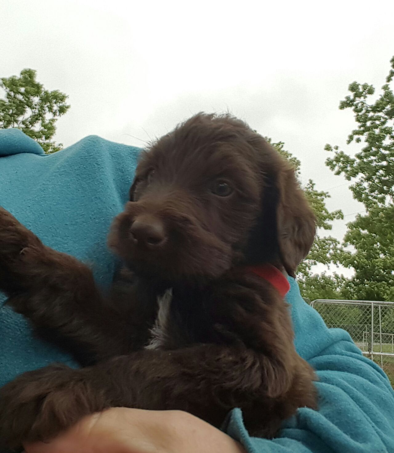 F1 Chocolate Labradoodles. 1000 Ready May 12. S (With