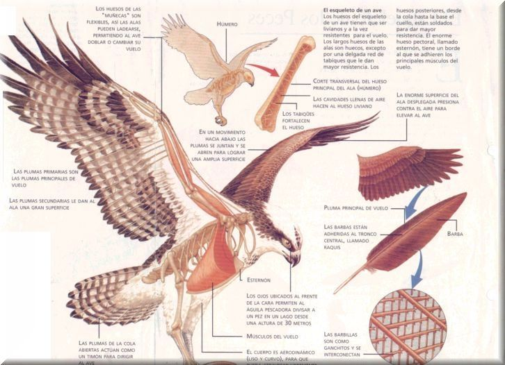 musculos de las aves - Buscar con Google | wing | Pinterest ...