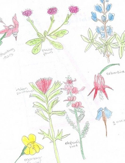 colored Pencils nature journal wildflowers sketches