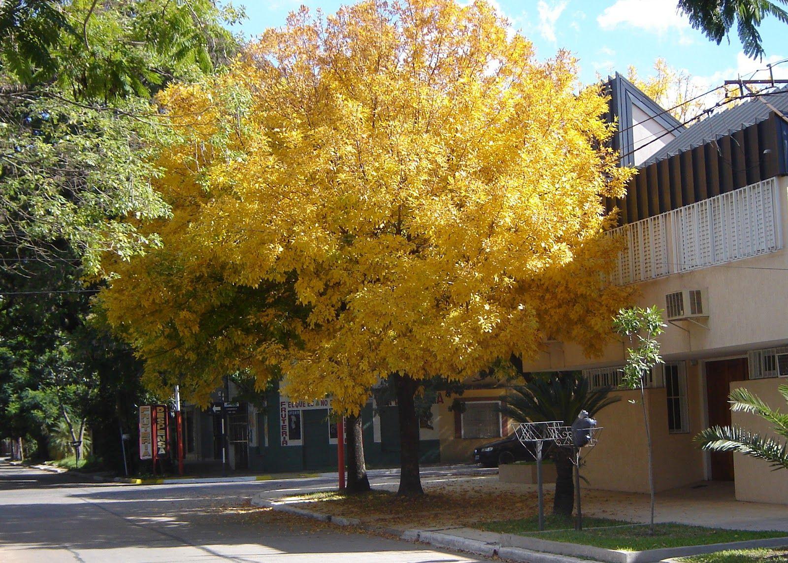 Fresno en Colegiales, CABA | Árboles de Buenos Aires | Pinterest ...