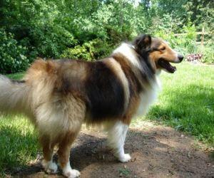 Laddie Is An Adoptable Shetland Sheepdog Sheltie Dog In Charlottesville Va Laddie Is A Big Handsome Sheltie Who Loves Sheltie Sheltie Dogs Scottish Animals