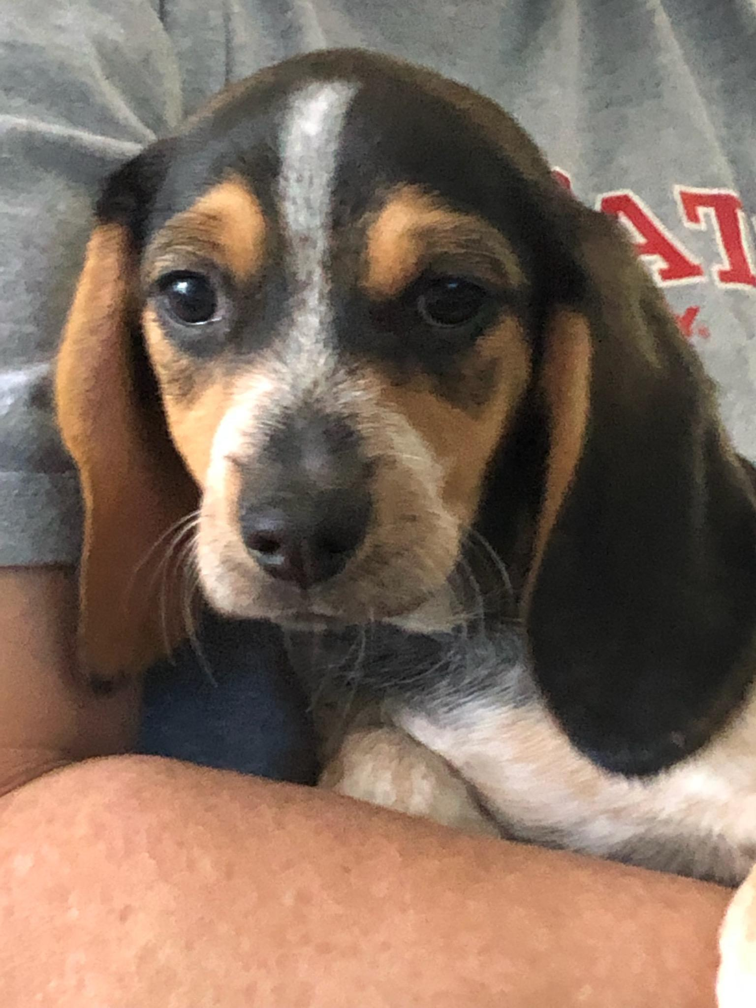 Adopt Peanut on Baby dachshund, Dog adoption, Dachshund mix