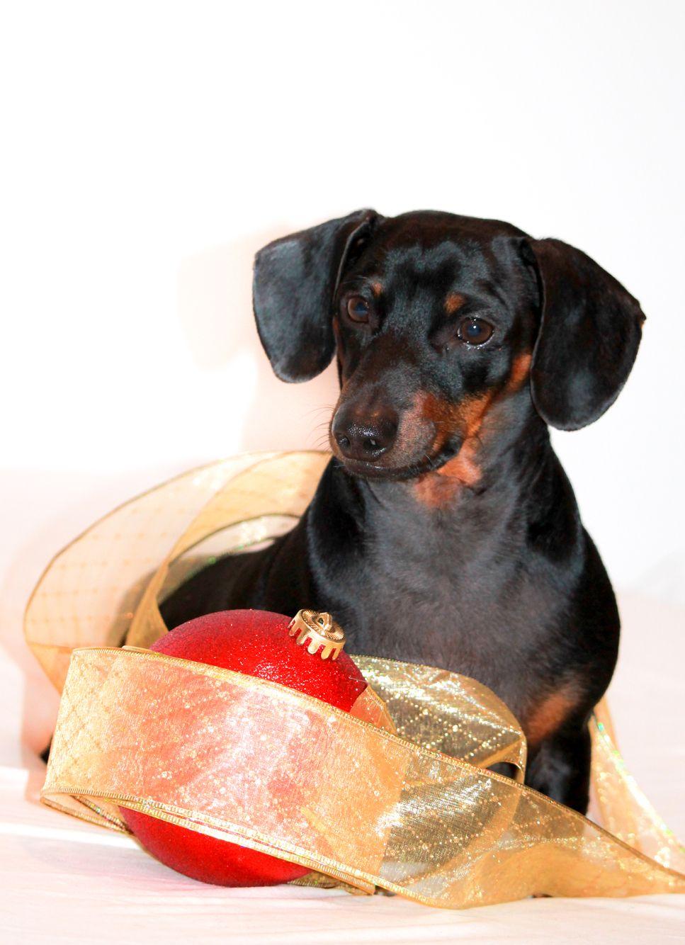 Pet photography/pet Christmas/ Christmas animal/ pet photos/ pets dachshund Doxie