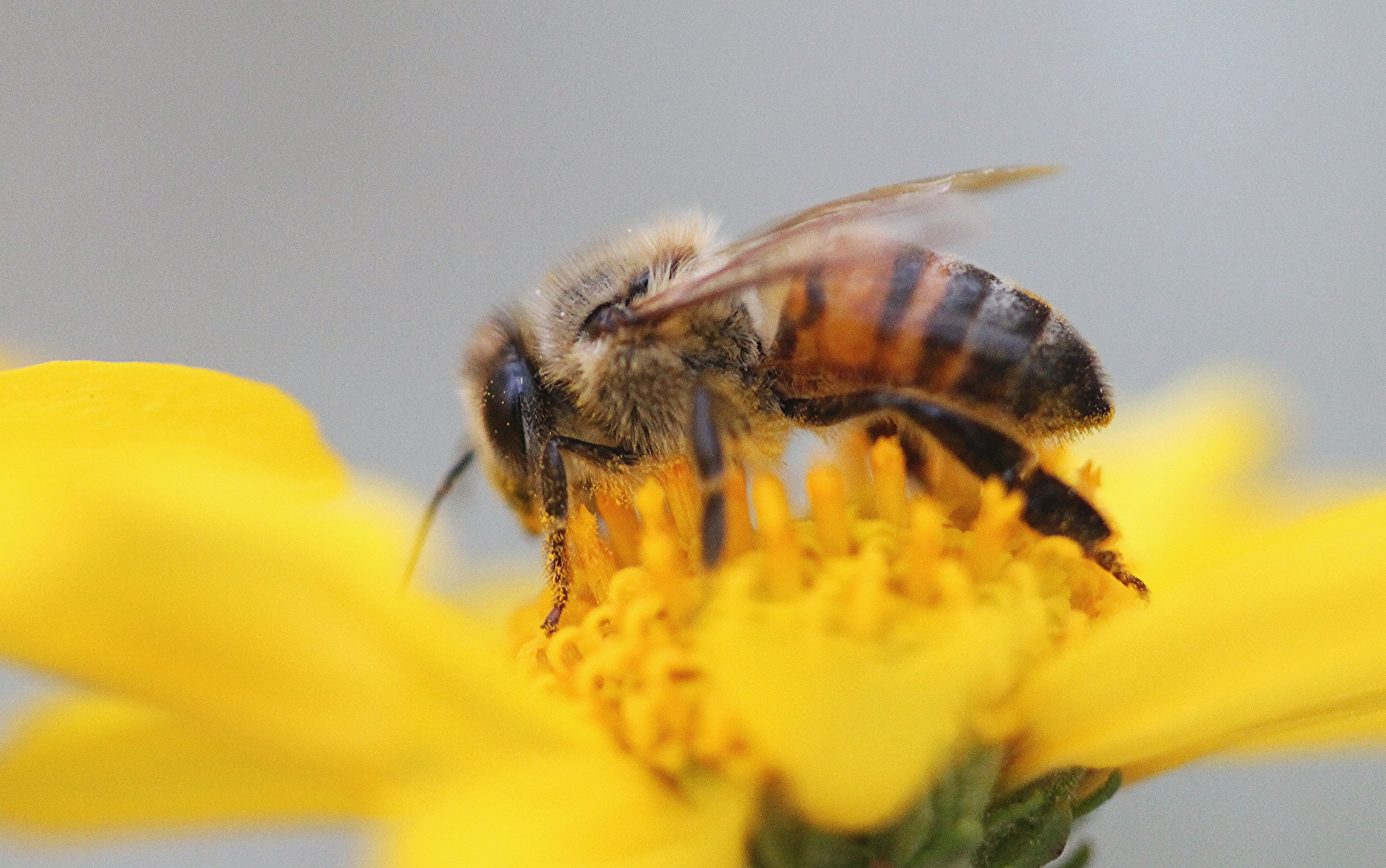 Bee perched on sunflower honey bee HD wallpaper