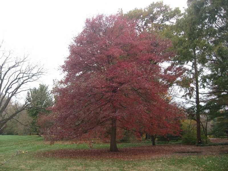 Black Gum Tree Black Tupelo Tree Seedlings Bees Loves This Tree Tupelo Tree Tree Seedlings Tree