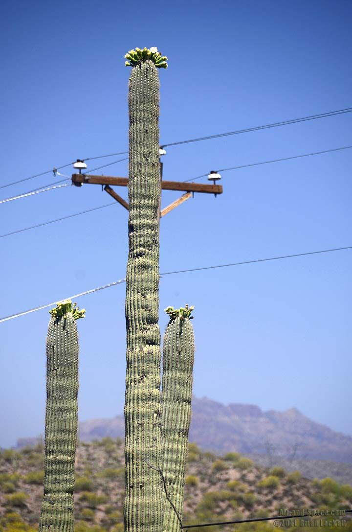 Saguaro cactus being used as telephone pole bill would