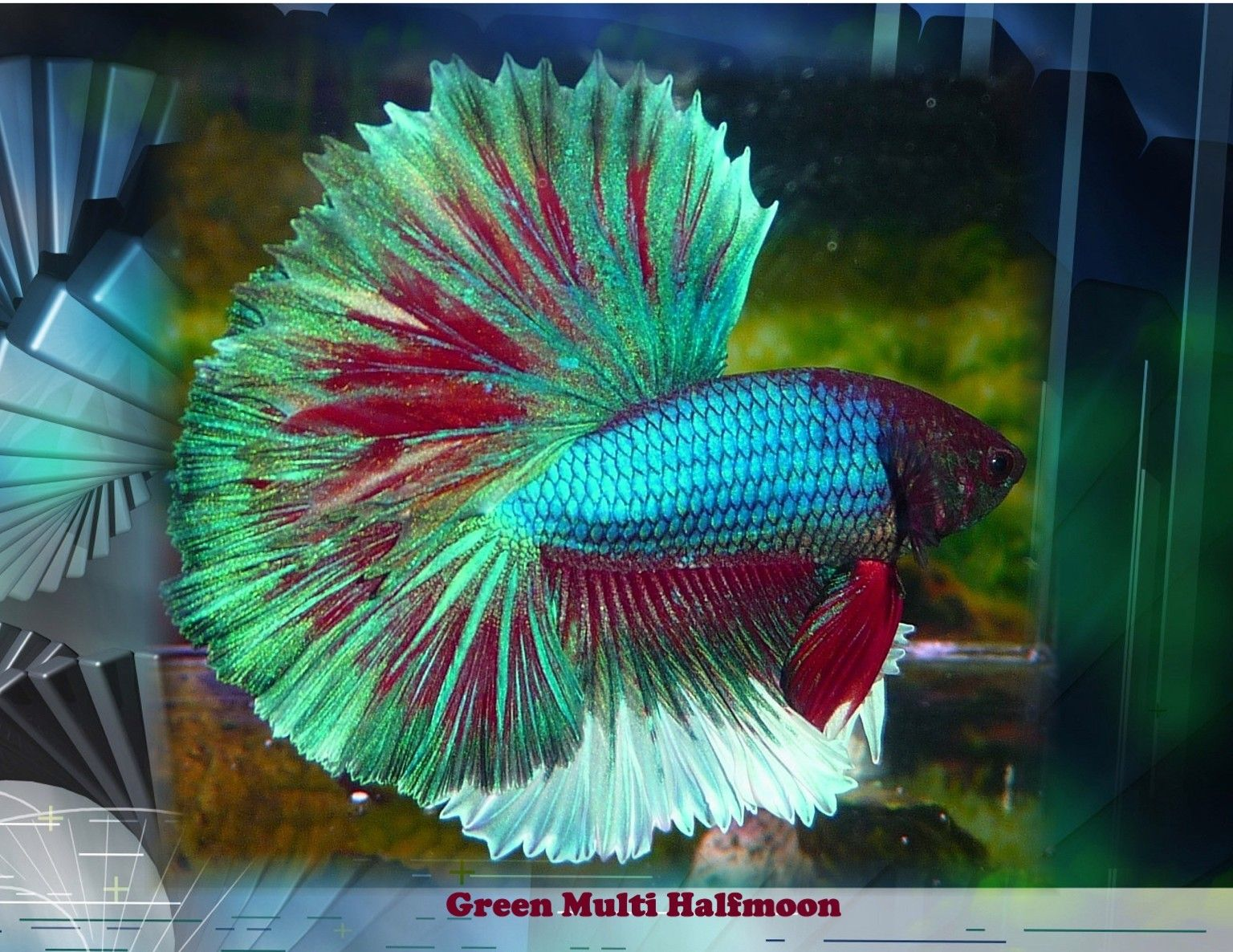 Betta fish is one of the most beautiful marine species for Betta fish colors