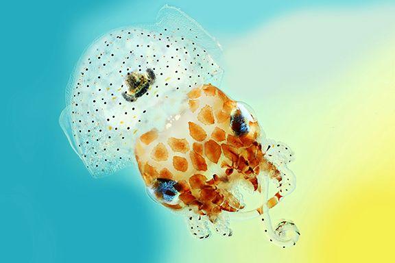 Hawaiian bobtail squid.  (click for full screen)