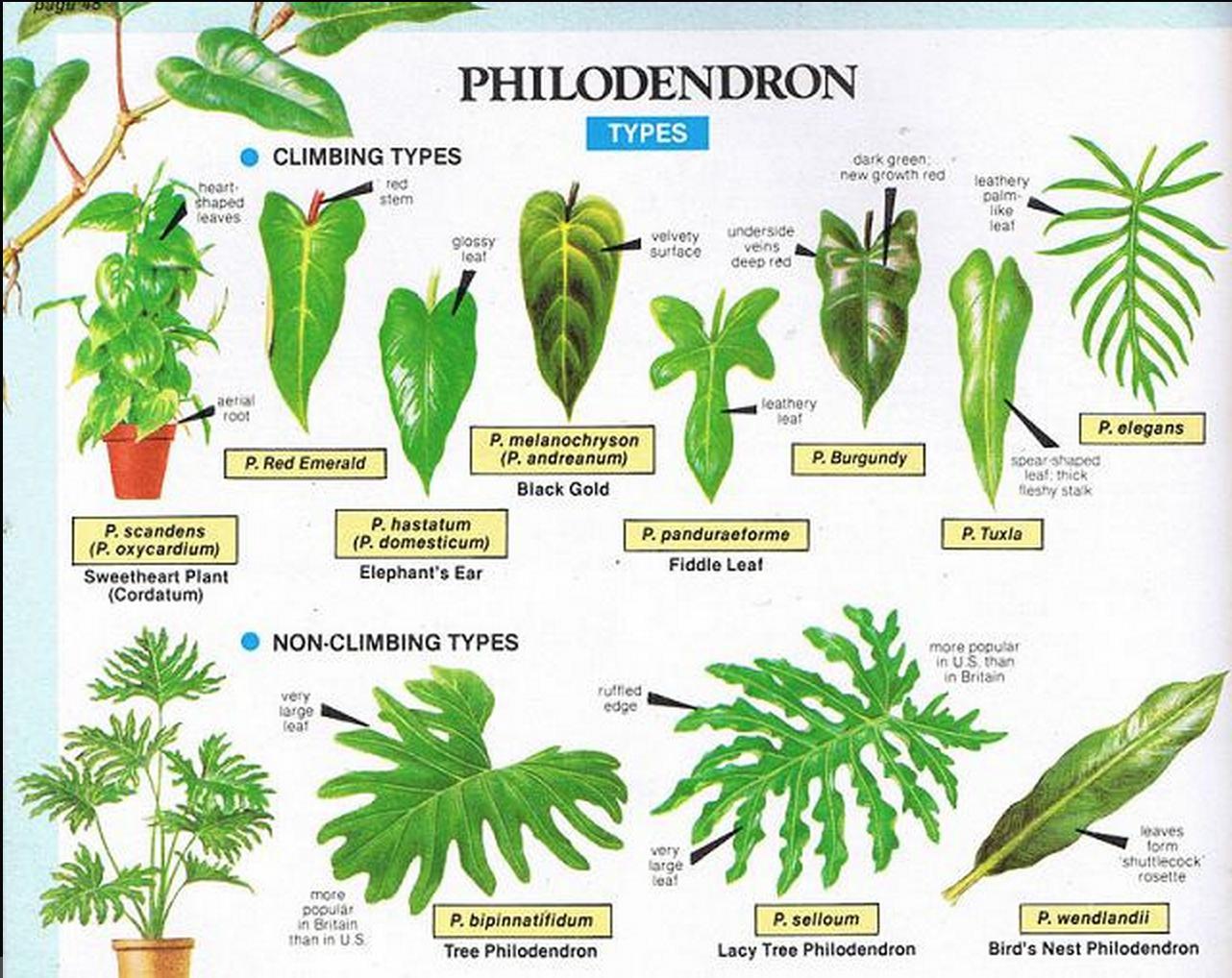 Philodendron Types Plants Plant Care Pinterest Plants