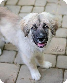 5 12 16 Cincinnati Oh Leonberger Mix Meet Leo A Dog For Adoption Http Www Adoptapet Com Pet 15509967 Cincinnati Ohio Leonberger Dog Adoption Dog Facts