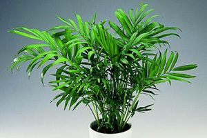 Bamboo Palm Plants, Toxic plants for cats, Cat safe plants
