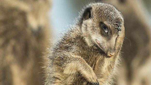 Coy meerkat