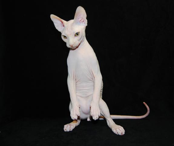 Sphynx Sphynx Cat Hairless Cat Hairless Animals