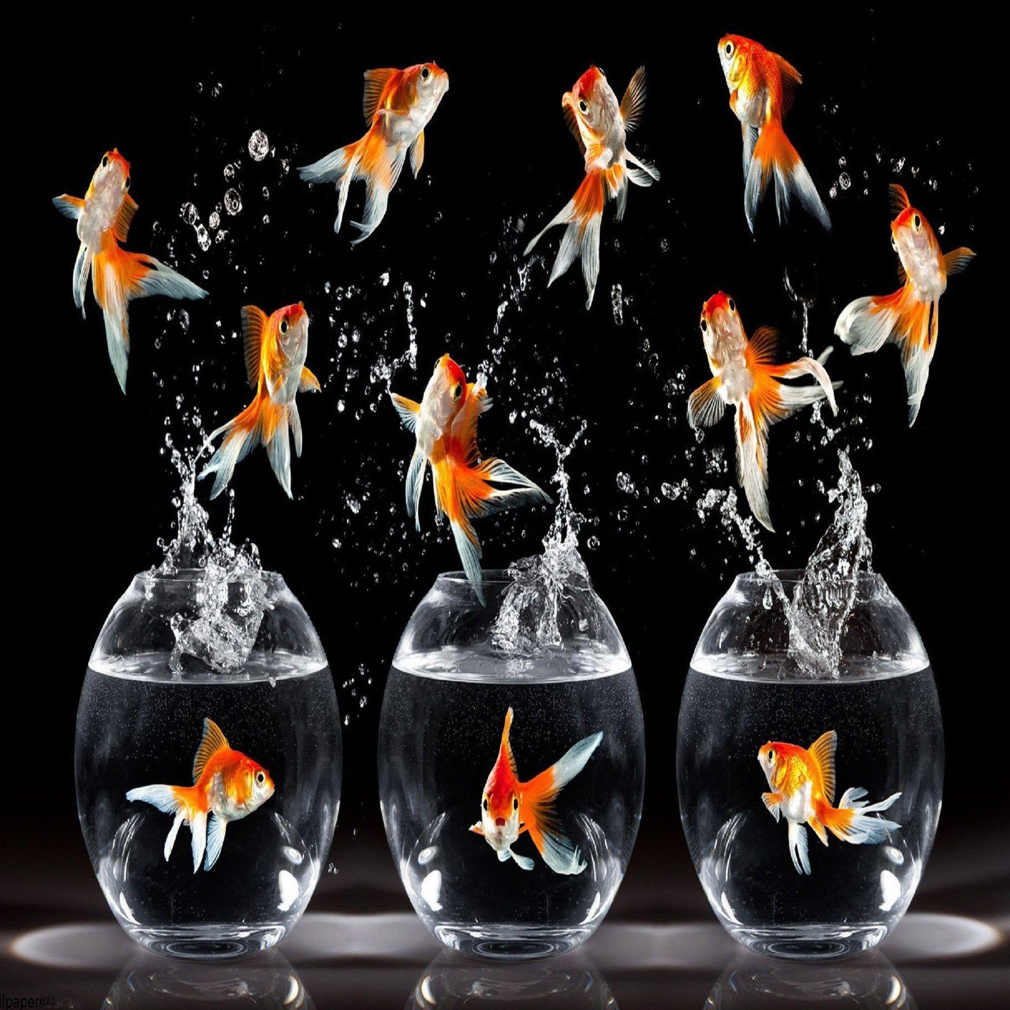 Dancing Fish Funny Hd Wallpaper Goldfish Wallpaper Fish Wallpaper Golden Fish