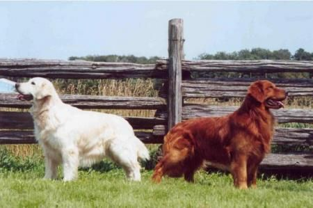 Golden Retrievers Change In Type And Color In Britain And The Us