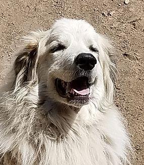 9 4 17 Great Pyrenees Dog For Adoption In Golden Colorado Yuki