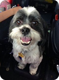 Ruff My Name Is Bandit Pets Shih Tzu Pet Adoption
