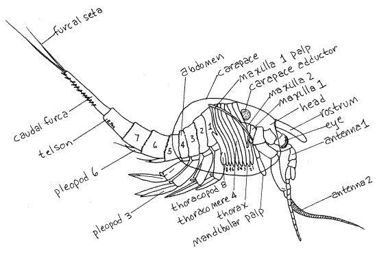 CRUSTACEA (Crustáceo) - Anatomia de Phylocarida. / CRUSTACEA (Crust ...