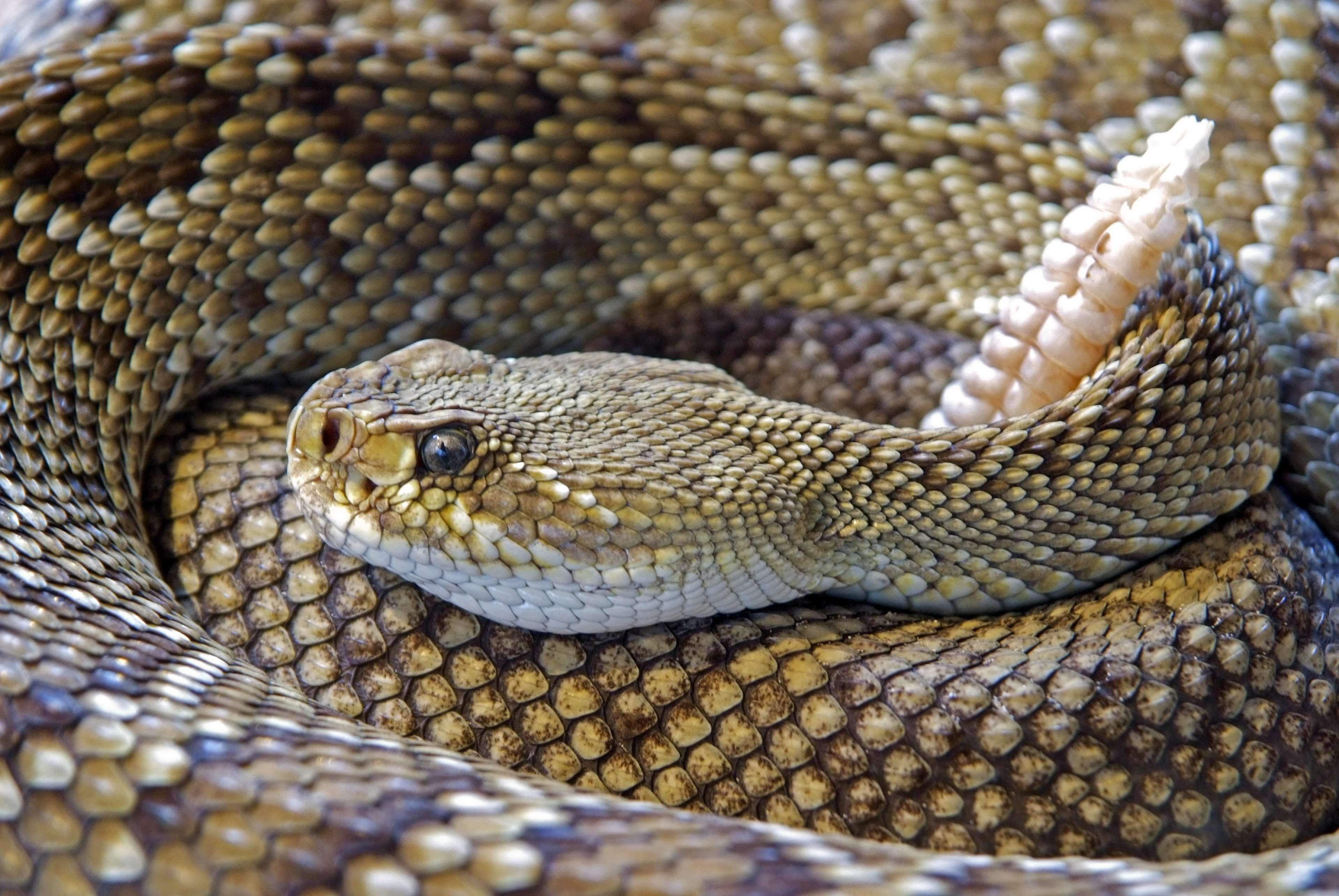 animal #caution #dangerous #hunter #lethal #poisonous #rattlesnake ...