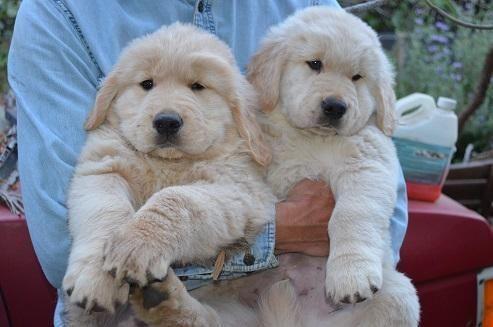 Some Golden Retrievers White Golden Retriever Puppy Puppies Retriever Puppy