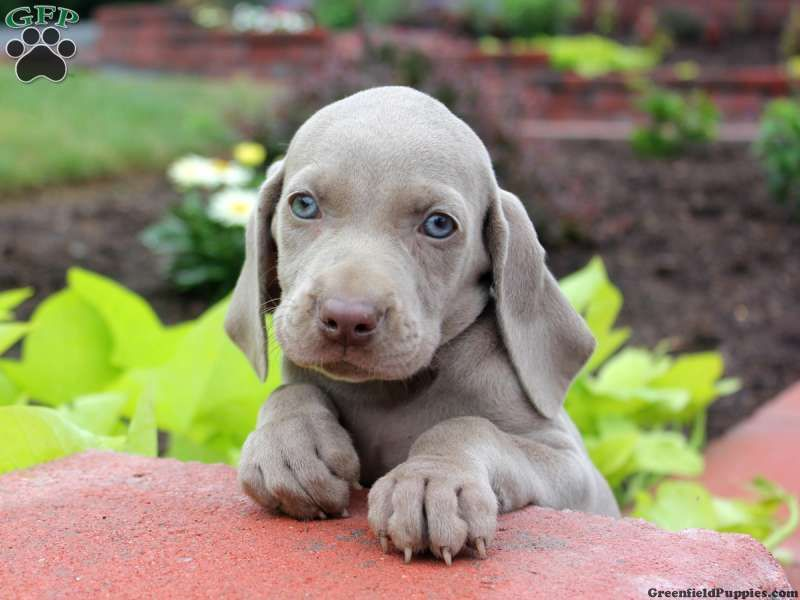 Danny Weimaraner Puppy For Sale In Ickesburg Pa Puppies For Sale