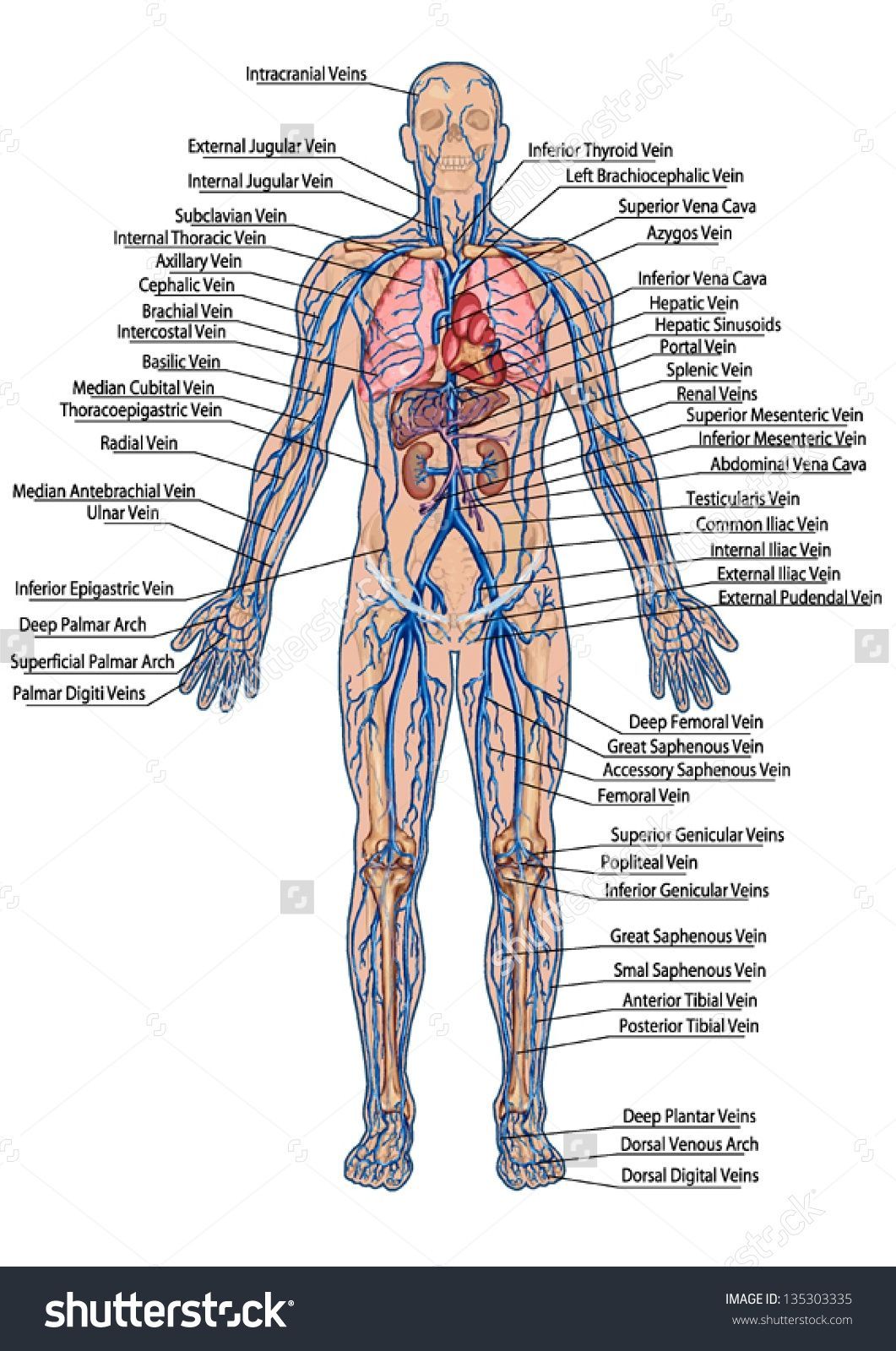 Pictures Of Anatomy Human Anatomy Stock Photos Images Amp Pictures ...