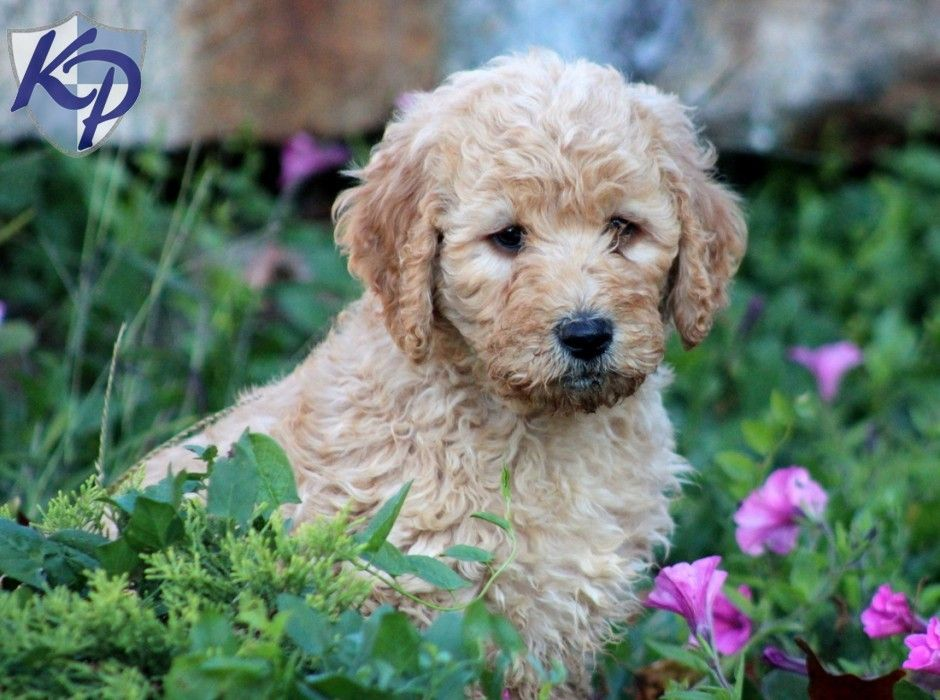 Puppy Finder Find Buy A Dog Today By Using Our Petfinder Goldendoodle Puppy Goldendoodle Goldendoodle Puppy For Sale