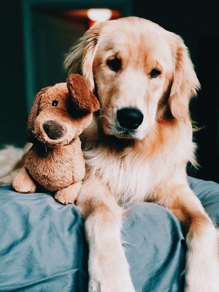 #labradorretrieverpuppies
