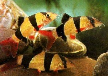 Botia payaso pez de agua dulce especies de peces de agua for Criadero de peces de colores