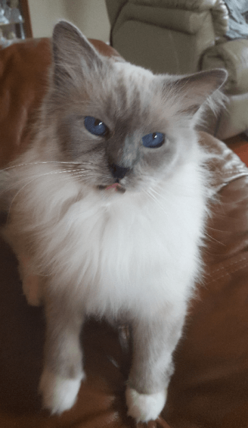 Peyton Ragdoll of the Week Cute cats, Cats, Siamese cats