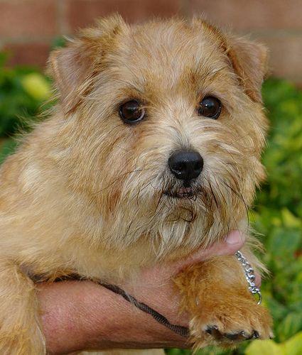 Norfolk Terrier Norfolk Terrier Terrier Cairn Terrier