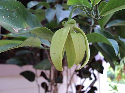 sampangi flower | flowers | Plants, Tropical plants ...