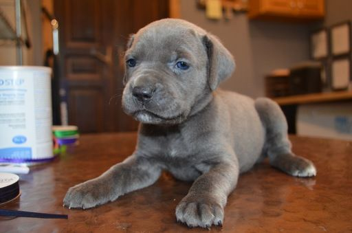 Litter Of 9 Cane Corso Puppies For Sale In West Bountiful Ut Adn