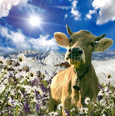 Glückliche Schweizer Kuh ) (mit Bildern) Kuh, Kuh