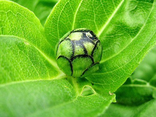 Google Image Result for http://tinyfarmblog.com/wp-content/uploads/2008/07/sum08_zinnia_flower_bud.jpg