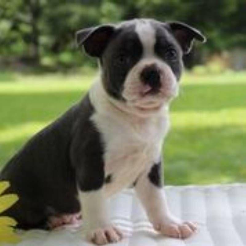 Sammy Male Akc Boston Terrier 1200 Http Www