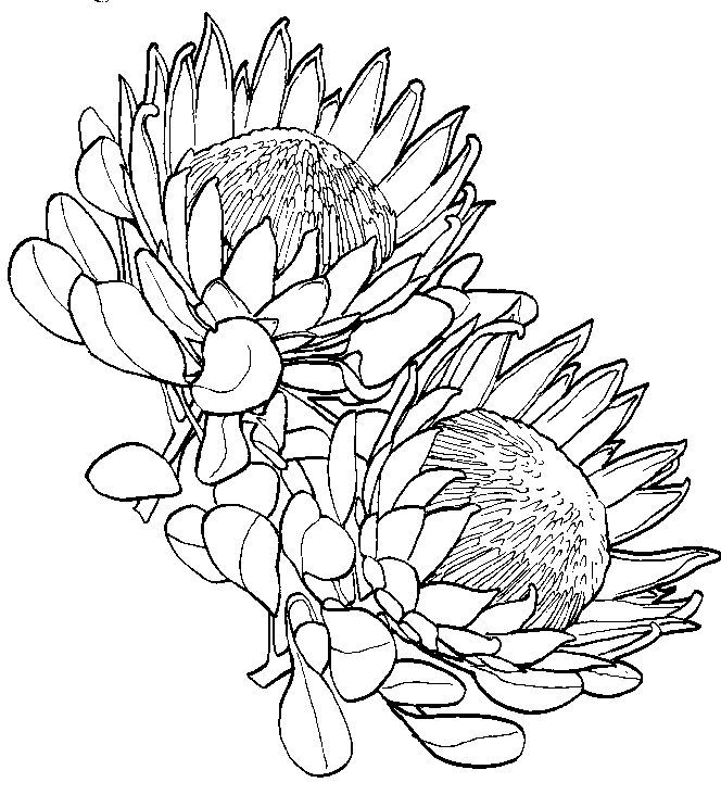 Protea Flower Drawing Protea Art Flower Drawing Flower Art