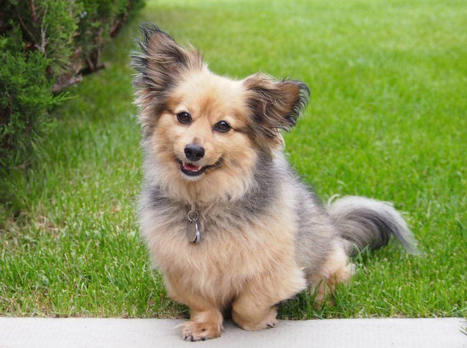 Chico marie my dachshund pomeranian mix my new puppy