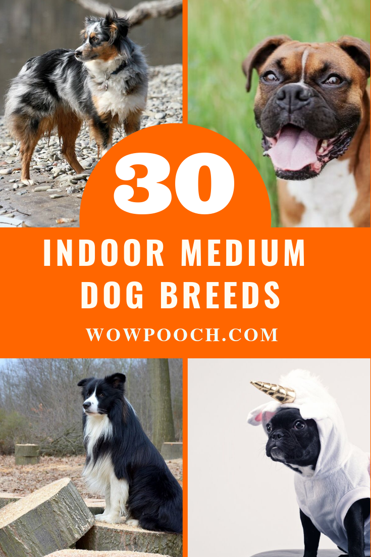 30 Top Medium Dog Breeds For Apartment Friendly Lifestyle Dog Breeds Medium Dog Breeds Medium Sized Dogs Breeds