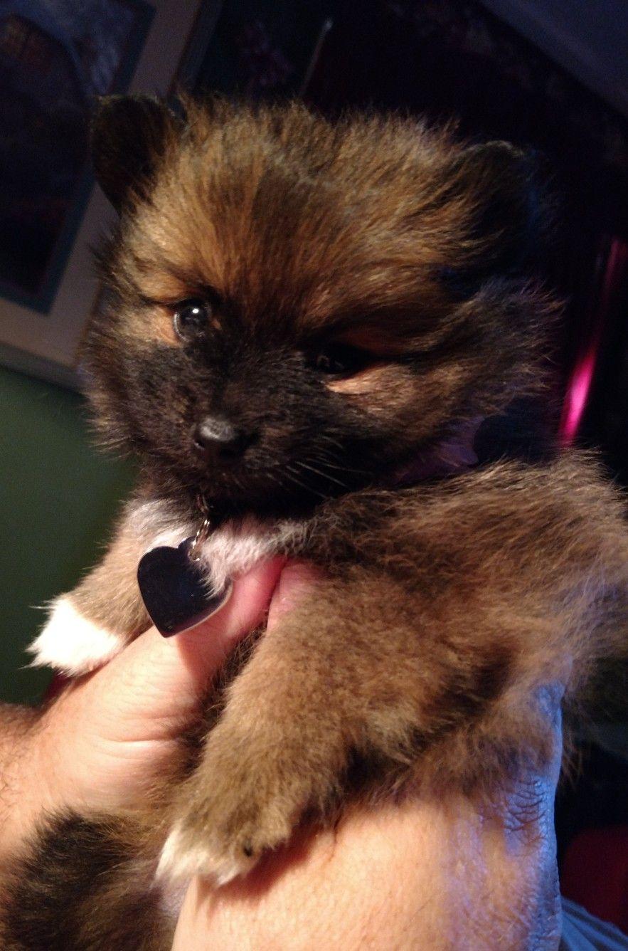Zoey 6 Weeks Old My Precious Pomeranian So Adorable Pomeranian Puppy Cute Pomeranian Pomeranian