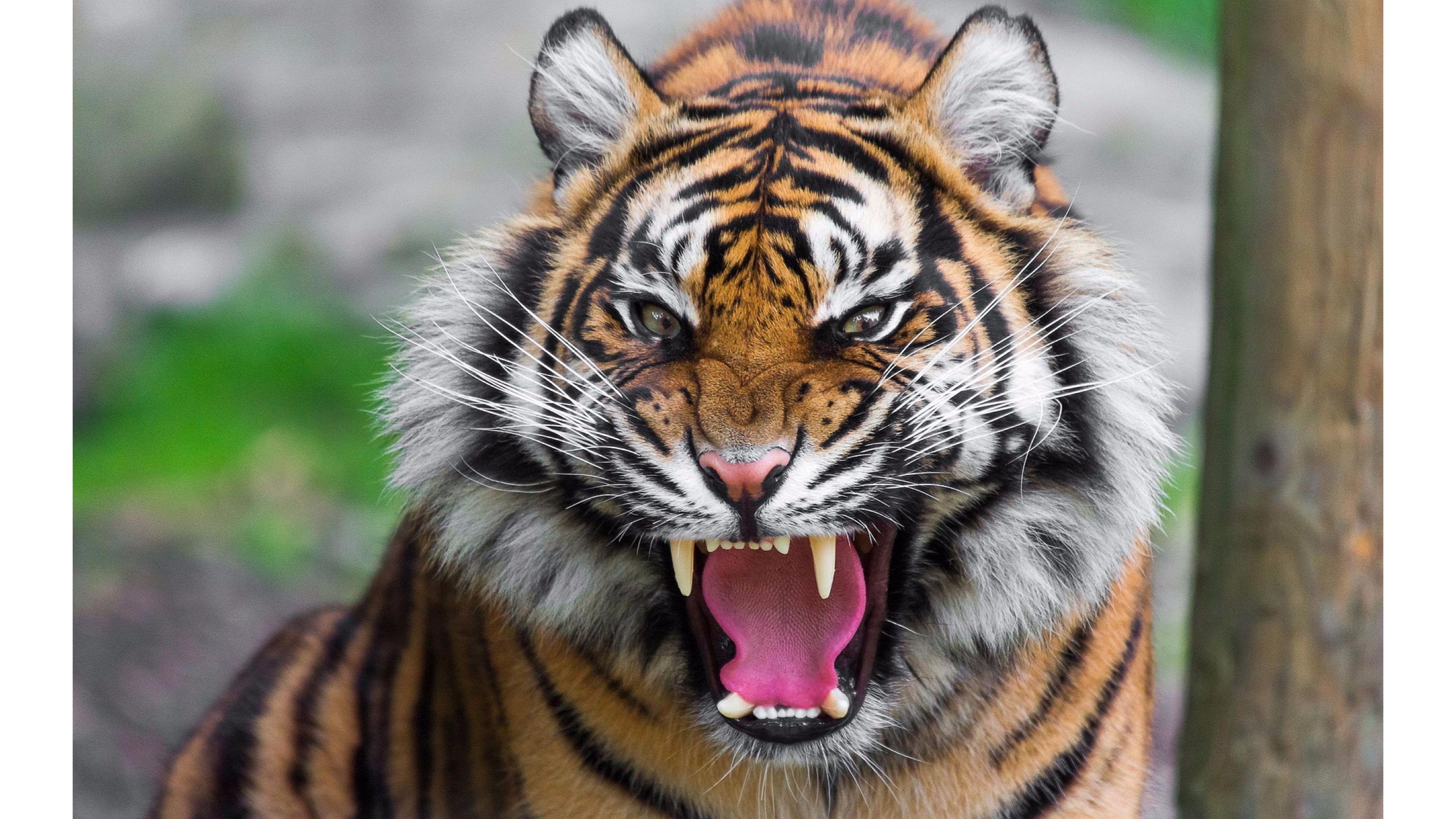 Siberian Tiger vs Bengal Tiger pictures, Tiger roaring