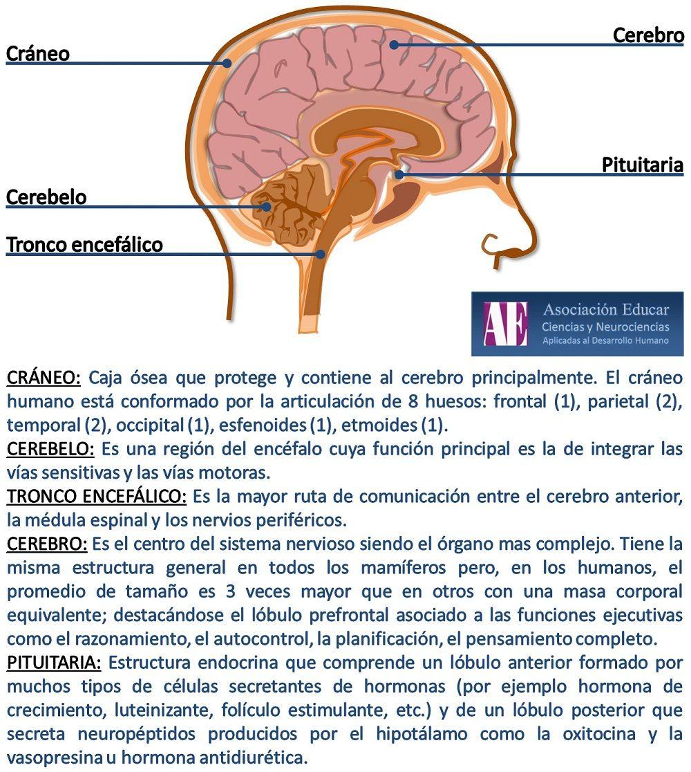 Cráneo - Asociación Educar - Ciencias y Neurociencias aplicadas al ...