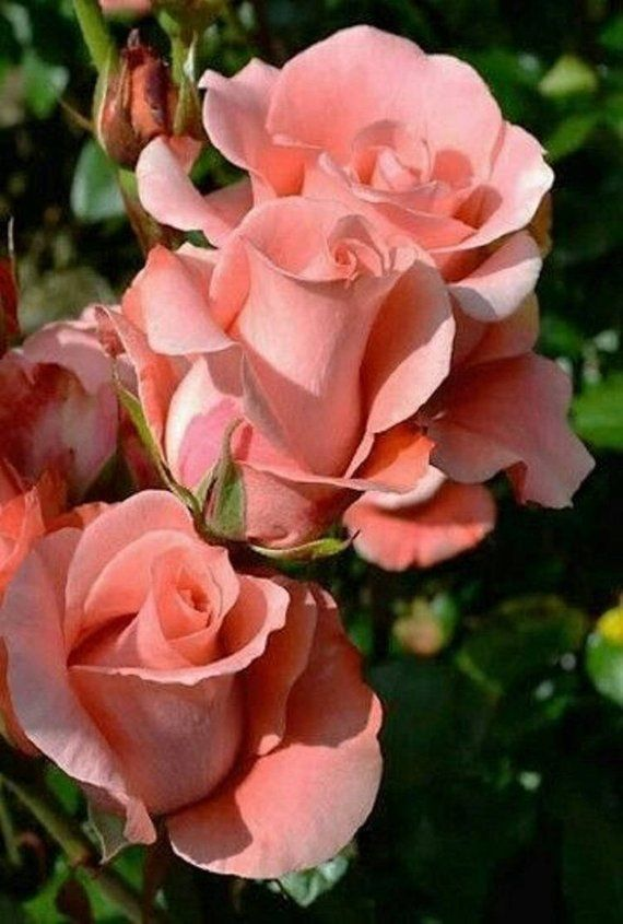 "Rare Light Pink Rose Seeds Flower Bush Pe55rennial Shrub Garden Home Exotic Home Yard Grown Party We is part of Pink Rose garden - Rose Seeds One way to grow roses is from the seeds they produce  Propagating roses from seed take a little time, but is easy to do  Let's take a look at what it takes to start growing roses from seed                                                                      Starting Rose SeedsBefore growing roses from seed, the rose seeds need to go through a period of cold moist storage called ""stratification"" before they will sprout Plant the rose bush seeds approximately ¼ inch deep in a seedplanting mix in seedling trays or your own planting trays  The trays need not be more than 3 to 4 inches deep for this use  When planting rose seeds from various rose bush hips, I use a separate tray for each different group of seeds and label the trays with that rose bushes name and planting date The planting mix should be very moist but not soaking wet  Seal each tray or container in a plastic bag and place them in the refrigerator for 10 to 12 weeks                                                                    Planting Roses from SeedsThe next step how to grow roses from seed is to sprout the rose seeds  After having gone through their ""stratification"" time, take the containers out of the refrigerator and into a warm environment of around 70 F  (21 C )  I do my best to time this for early spring when the seedlings would normally be coming out of their cold cycle (stratification) outside and starting to sprout Once in the proper warm environment, the rose bush seeds should start to sprout  The rose bush seeds will usually continue to sprout over the course of two to three weeks, but probably only 20 to 30 percent of the rose seeds planted will actually sprout Once the rose seeds sprout, carefully transplant the rose seedlings into other pots  It is extremely important not to touch the roots during this process! A spoon may be used for this seedling transfer phase to help keep from touching the roots Feed the seedlings with half strength fertilizer and be sure they have plenty of light once they start to grow  The use of a grow light system works very well for this phase of the rose propagation process The use of a fungicide on the growing rose seeds will help keep fungal diseases from attacking the rose seedlings at this vulnerable time Do not over water the rose seedlings; over watering is a major killer of seedlings Provide a lot of light as well as good air circulation to the rose seedlings to avoid disease and pests  If disease does set in on some of them, it is probably best to eliminate them and keep only the hardiest of the rose seedlings The time it takes for the new roses to actually flower can vary greatly so be patient with your new rose babies  Growing roses from seed can take some time, but you will be rewarded for your efforts"