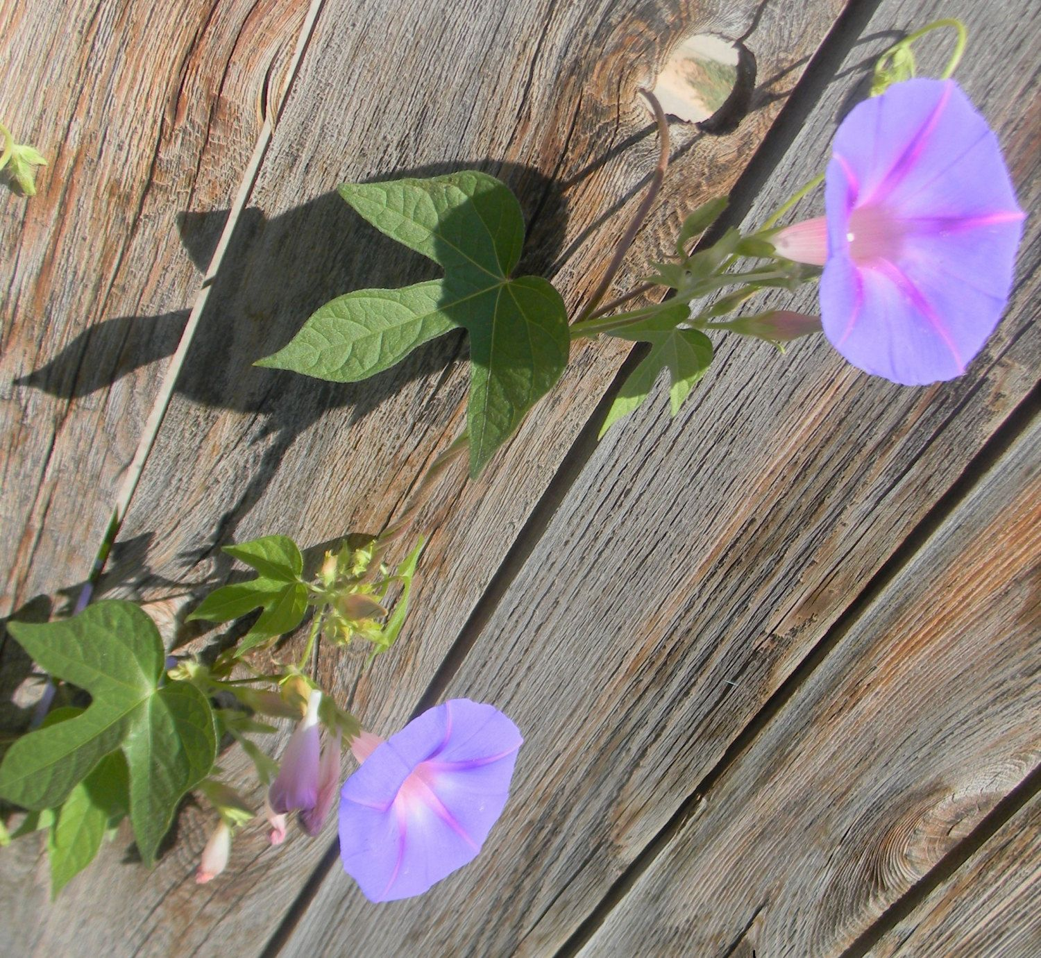 Morning Glories by ThingsandstTreasures on Etsy