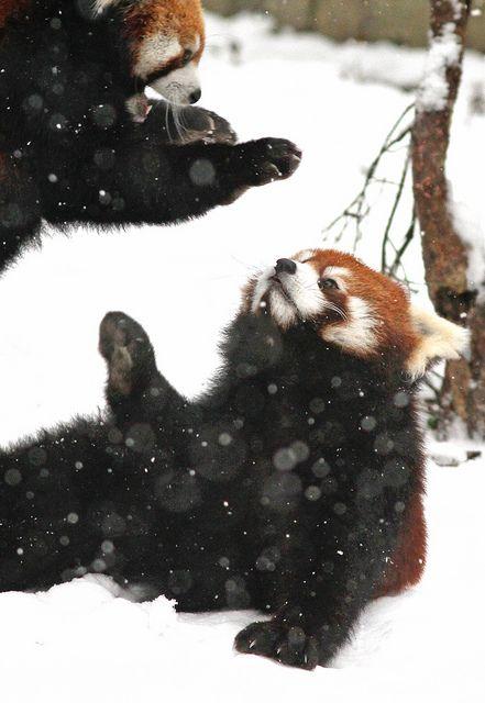 Panda Pounce   Flickr: Intercambio de fotos