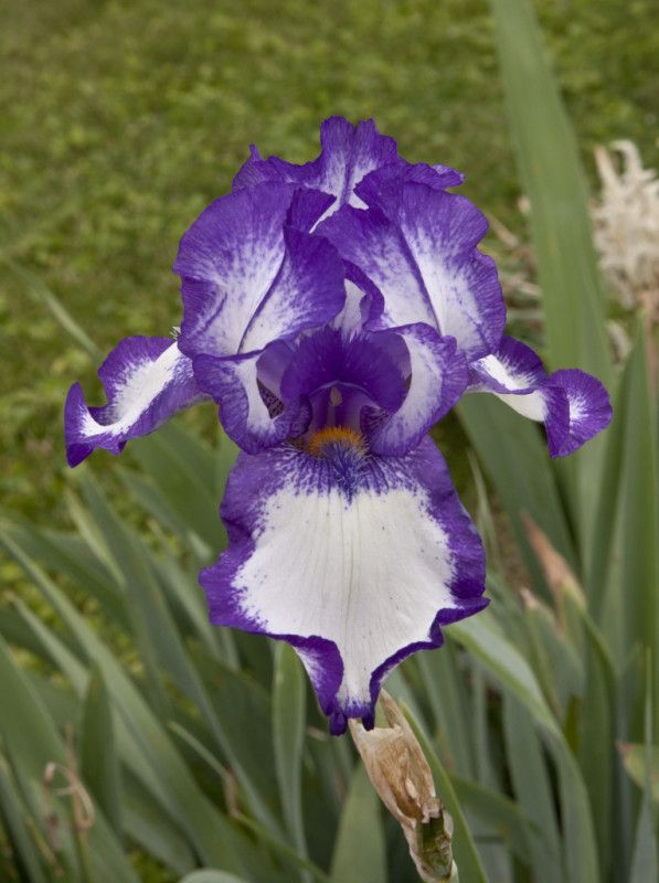 Very Pretty Old Fashioned Iris My Grandmother And Mother Both Have This One The Most Unbelievable Grape Floral Scent Iris Flowers Plants Flowers
